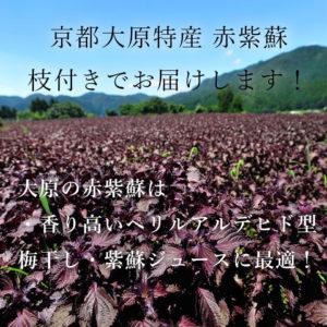 枝付き赤紫蘇2kg(梅干5kg用)(送料込み)2018年